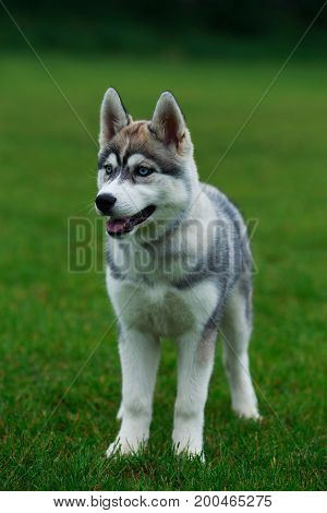 Puppy of dog breed Siberian husky sits on a green grass