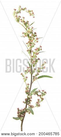 Flowers of mugwort or common wormwood (Artemisia vulgaris) isolated on white background. Medicinal plant
