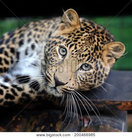 Close up young leopard portrait. Angry leopard