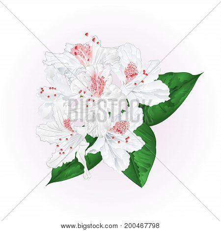 Flowers white rhododendron with leaves vintage vector illustration editable hand draw