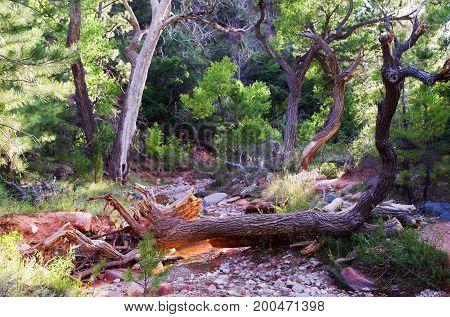 Fallen log across stream on Taylor Creek Trail, Kolub Canyons, Zion National Park, Utah, USA