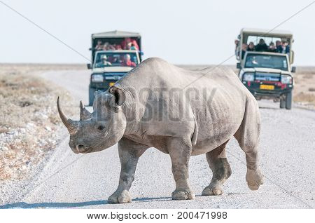 A black rhinoceros Diceros bicornis walking accross a road in Northern Namiba with two safari vehicles with tourists in the back