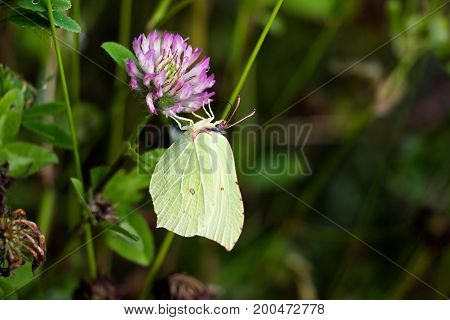 A butterfly of a green hue on a purple flower gathers nectar, on a meadow in the midst of a wild forest.