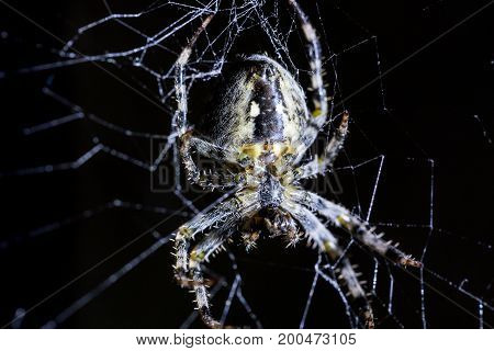 Spider and spider's web on black background. Arachnid climbing the web. Extreme close up macro image