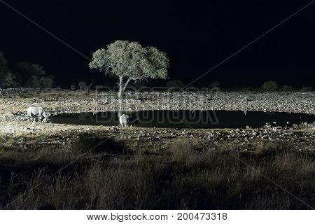 Black rhinos Diceros bicornis also called hook-lipped rhinoceros at an artificially lit waterhole in Northern Namibia