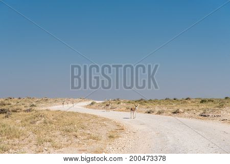 A herd of springboks Antidorcas marsupialis walking down a gravel road in Northern Namibia
