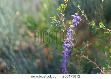 Macro Flower Of Lavender