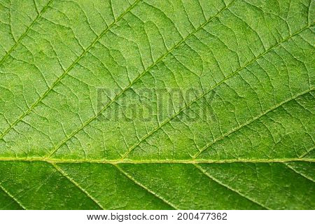 Background green leaf macro. Ecology and protection of nature. The texture of the leaf of a plant close.