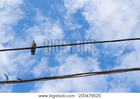Pigeon on wire against the blue sky. Lone gray pigeon