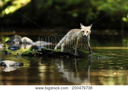 Young red fox on stone in river - Vulpes vulpes