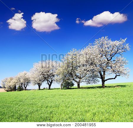 alley of flowering cherry trees and green spring time corn field with beautiful clouds on sky springtime view