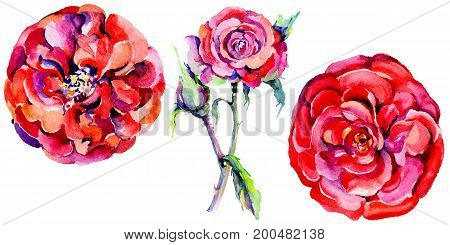 Wildflower rose flower in a watercolor style isolated. Full name of the plant: rose. Aquarelle wild flower for background, texture, wrapper pattern, frame or border.
