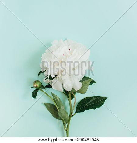 Beautiful white peony flower on blue background. Flat lay top view.