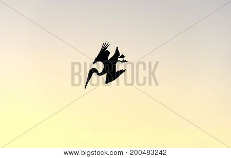 Bird diving Pelican silhouetteisolated is a silhouetted wildlife pelicn bird diving toward the ocean at sunset.
