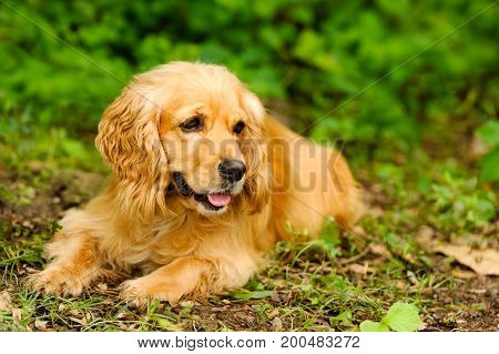 Cocker Spaniel dog is a beautiful soft brown Cocker spaniel lying outdoors in nature.