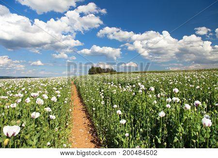 field of flowering opium poppy papaver somniferum and pathway