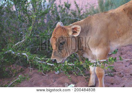 Young Bull-calf Eats