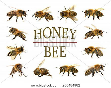 group of bees or honeybees in Latin Apis Mellifera European or western honey bee isolated on the white background. golden honeybees