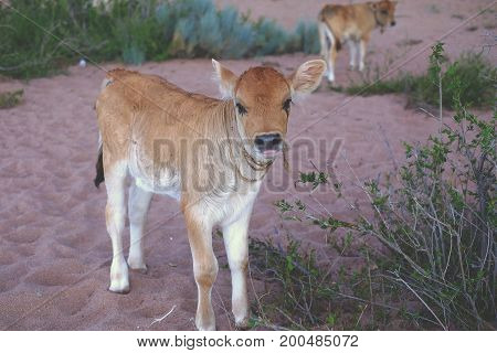 Young Bull-calf, Cow