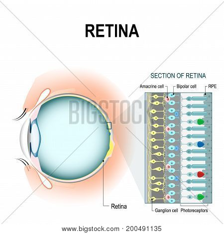 Photoreceptor cells. retinal cells: rod and cone cells amacrine ganglion bipolar cells and RPE. The arrangement of retinal cells is shown in a cross section. infographic of human eye