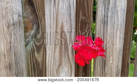 a red flower blossom poking through a wood fence