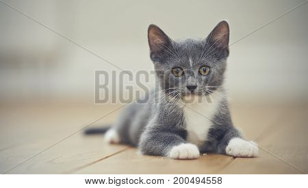 The gray kitten with white paws lies on a floor.
