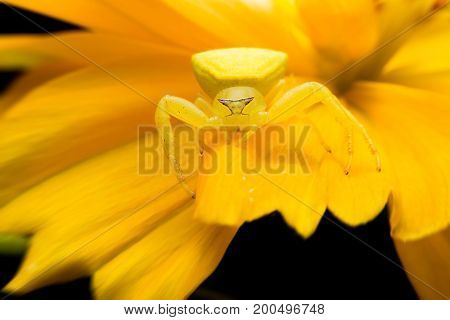 Crab spider on flowers with close-up detailed view