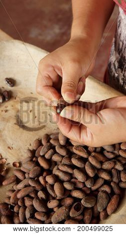 Hands of woman peeling cocoa beans. Removing the shell from cocoa beans is a part of the process for making handmade chocolate