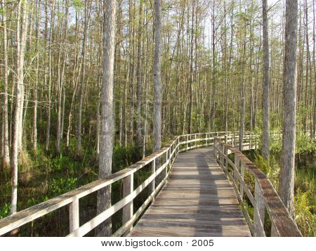 nature walk leading through a stand of Florida cypress trees poster