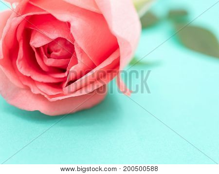Close-up image of pink beautiful rose flower on green background Pastel colors. Valentine day love and wedding concept. Selective and soft focus