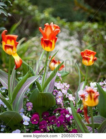 Beautiful Tulips in Garden with blur background.