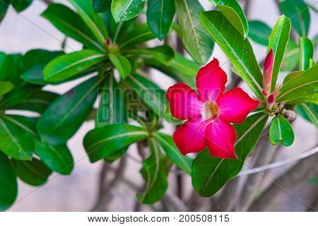 Adenium Obesum Flower Medicinal Plants.