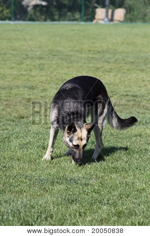 German shepherd dog outside in a park. poster