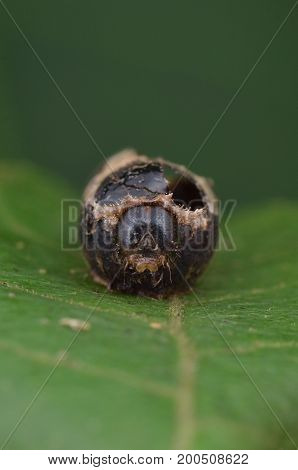 image of a dead pupa infected by parasite