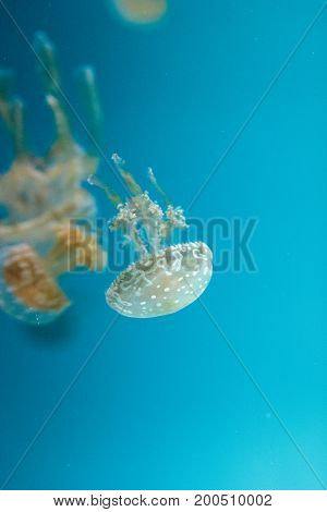 Golden Jelly, Phyllorhiza Punctata, Is Also Known As The Floating Bell