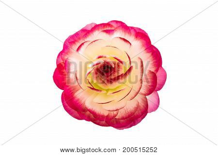 Beautiful buttercup Pink flower isolated on white background