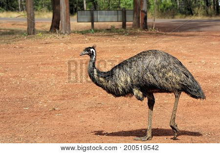 Emu is the largest native bird in Australia can weigh up to 45 kg