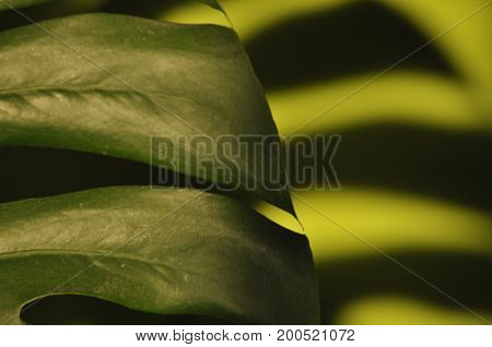 Leaves of tropical plants. Shadow Monsters reflecting on the green wall.