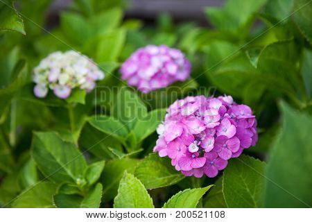 Color Hydrangea flower full bloom in garden.