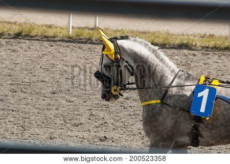Racing Stallion Number One, Yellow Protection On The Ears Of The Horse