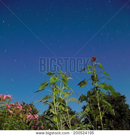 Sunflower and thistle at night with star trail in background