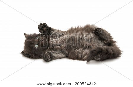Small fluffy kitten isolated on white background