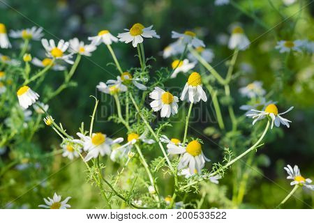 Stalks of blossoming chamomile on a dark background at shallow depth of field