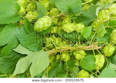Background of the intertwined branches of hops with leaves and seed cones