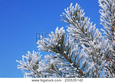branches of fir tree strewn lightly with white hoarfrost in January