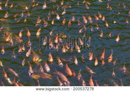 Colorful koi fish in the water Crayfish carp