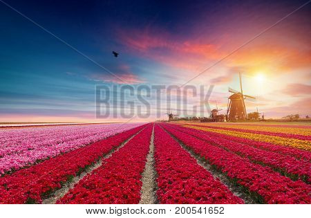 Landscape with tulips, traditional dutch windmills and houses near the canal in Zaanse Schans, Netherlands, Europe.