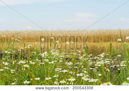 Pleasantly aromatic hardy weeds annuals Matricaria, Chamomile , mayweed, growing along roadsides of rye field. Background of Flowering plants of summer