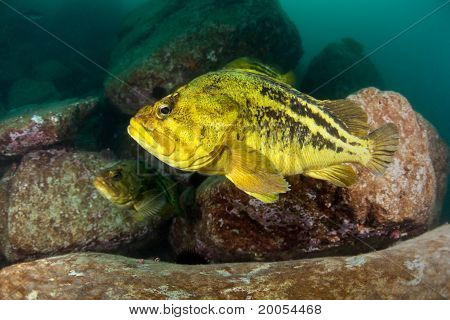 Threestripe Rockfishes Under Water In Sea Of Japan, Russia