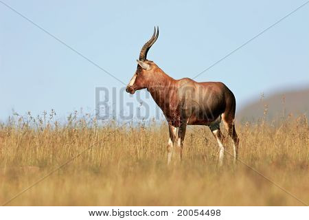 Blesbok Antelope, South Africa
